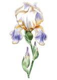 Ilustração com flor da aquarela íris Fotografia de Stock