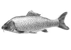 Ilustração com os peixes realísticos da carpa ilustração stock
