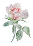 A ilustração com realístico aumentou watercolor Foto de Stock
