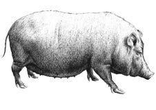 Ilustração com um grande porco Foto de Stock