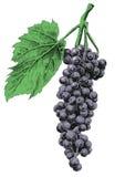 Ilustração com uvas Imagem de Stock