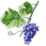Ilustração com uvas e folhas Fotos de Stock Royalty Free