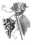 Ilustração com uvas e folhas Imagem de Stock Royalty Free