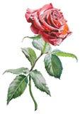 A ilustração com vermelho levantou-se Fotografia de Stock Royalty Free