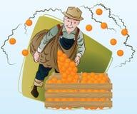 Ilustração conservada em estoque do vetor Colheita Um homem recolhe laranjas Imagens de Stock