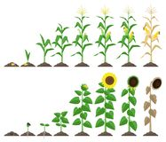 Ilustração crescente do vetor das fases da planta de milho e da planta do girassol no projeto liso Fases do crescimento do milho  ilustração do vetor