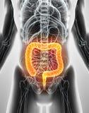 ilustração 3D do grande intestino Imagem de Stock