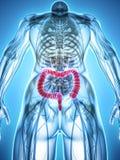 ilustração 3D do grande intestino Imagem de Stock Royalty Free
