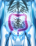 ilustração 3D do grande intestino Imagens de Stock Royalty Free