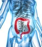 ilustração 3D do grande intestino Foto de Stock Royalty Free