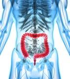 ilustração 3D do grande intestino Fotografia de Stock Royalty Free