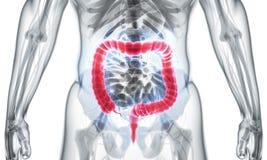 ilustração 3D do grande intestino Fotos de Stock