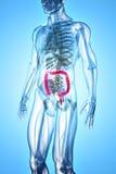 ilustração 3D do grande intestino Imagens de Stock