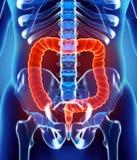 ilustração 3D do grande intestino Fotografia de Stock