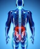 ilustração 3D do grande intestino Foto de Stock