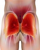 ilustração 3D do músculo glúteo Maximus Fotografia de Stock