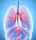 ilustração 3D do sistema interno humano - sistema circulatório ilustração stock