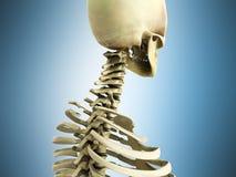 Ilustração 3d medicamente exata do sistema esqueletal o ce Imagem de Stock