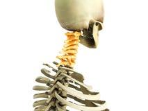Ilustração 3d medicamente exata do sistema esqueletal o ce Foto de Stock