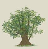 ilustração da árvore de faia Imagem de Stock