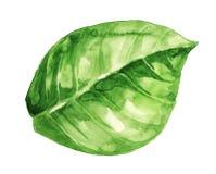 Ilustração da aguarela da folha verde no branco ilustração royalty free