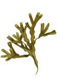 Ilustração da alga ilustração stock