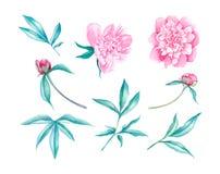 Ilustração da aquarela da flor das peônias Imagens de Stock Royalty Free