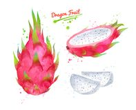 Ilustração da aquarela do fruto do dragão ilustração stock