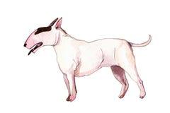 Ilustração da aquarela do inglês bonito bull terrier Fotografia de Stock Royalty Free