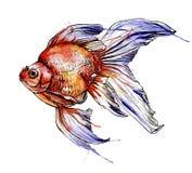 Ilustração da aquarela do vetor dos peixes do ouro Foto de Stock Royalty Free