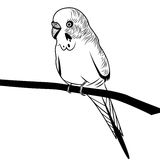 Ilustração da cabeça do pássaro do budgie do papagaio para o t-shirt Imagens de Stock Royalty Free