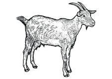 Ilustração da cabra, desenho, gravura, linha arte, realística ilustração royalty free