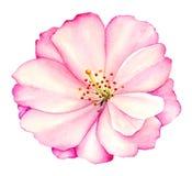 Ilustração da flor cor-de-rosa da peônia Imagem de Stock Royalty Free