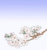 Ilustração da flor de cereja Fotos de Stock