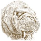 Ilustração da gravura da cabeça da morsa Fotografia de Stock