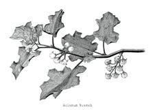 Ilustração da gravura do desenho da mão do clipart do ramo do Solanum Imagens de Stock