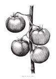 Ilustração da gravura do desenho da mão dos tomates Fotos de Stock Royalty Free