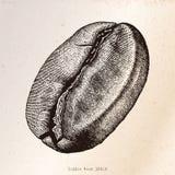 Ilustração da gravura do desenho da mão do feijão de café Imagem de Stock Royalty Free