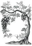Ilustração da gravura do vintage do desenho da mão da árvore da uva no branco ilustração royalty free