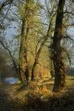 Ilustração da madeira de Nishava Imagem de Stock
