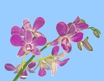 Ilustração da orquídea: Equestris do Phalaenopsis Foto de Stock Royalty Free