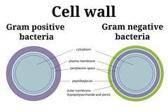 Ilustração da parede de pilha das bactérias Grama - positivo e grama - differents negativos da parede de pilha ilustração do vetor