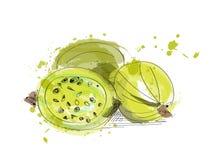 Ilustração da pintura da aquarela da groselha fruto tirado mão do vetor Imagens de Stock