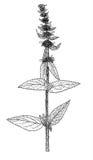 Ilustração da planta do germanica do Stachys Fotografia de Stock