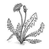 Ilustração da tração da mão das folhas e das flores do dente-de-leão Fotografia de Stock Royalty Free