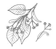 Ilustração da tração da mão das folhas e das flores do Tilia Fotografia de Stock