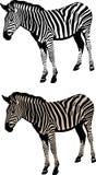 Ilustração da zebra Fotografia de Stock Royalty Free