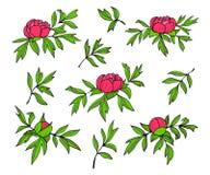 Ilustração das flores, dos botões e das folhas da peônia Grupo floral tirado mão isolado no fundo branco Simples colorido ilustração do vetor