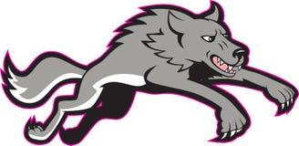 Ataque de salto do cão selvagem de lobo cinzento Imagens de Stock