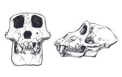 Ilustração de um crânio do macaco no fundo Vetor Fotografia de Stock